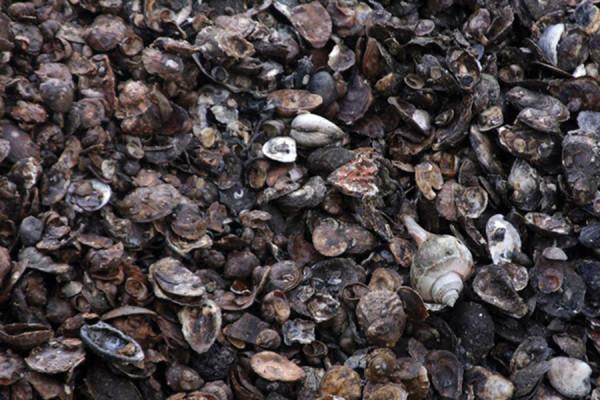 indicator-shellfish