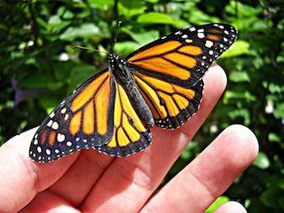 monarch_butterfly_by_elysiumspirit86